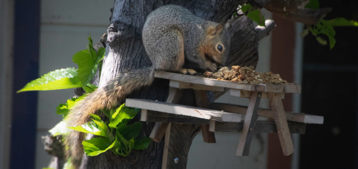 Squirrel on Jack's tiny picnic bench – Photo by Gregory Smith